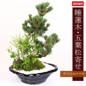遅れてごめんね 敬老の日 盆栽:睡蓮木・五葉松寄せ*寄せ植え 鉢植え 祝い 誕生日祝 開店祝 御祝 プレゼントにも|y-bonsai