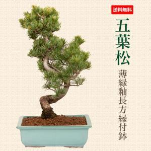 盆栽:五葉松 薄緑釉長方縁付鉢*鉢植え祝い ギフト gift 誕生日祝 開店祝 御祝 プレゼントにも|y-bonsai