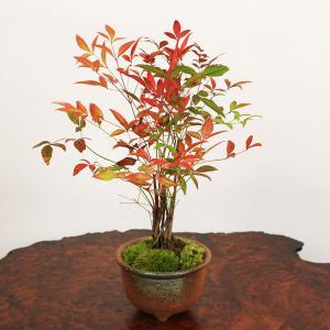 遅れてごめんね 母の日ギフトにも 小品盆栽:南天(萬古焼丸鉢)*祝い ギフト gift 誕生日祝 御祝 プレゼントにも|y-bonsai