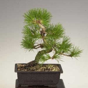 盆栽:三河黒松*|y-bonsai