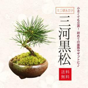 ミニ盆栽:三河黒松(瀬戸焼)*鉢植え 祝い ギフト gift 誕生日祝 御祝 プレゼントにも y-bonsai