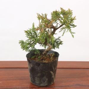 苗:糸魚川真柏(イトイガワシンパク)(曲)|y-bonsai