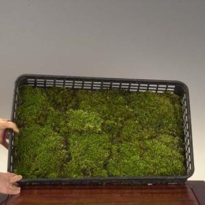 盆栽用:はい苔(ハイゴケ) トレイ|y-bonsai