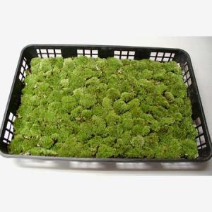 盆栽用 山苔・ヤマゴケ (トレイ入り)|y-bonsai