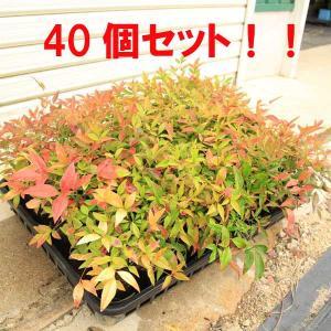 苗:南天(なんてん) 40個セット*(まとめ割)|y-bonsai