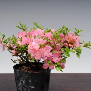 苗:深山霧島つつじ(筑峰)|y-bonsai