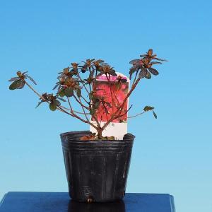 苗:深山霧島つつじ(紅小町)|y-bonsai
