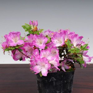 苗:深山霧島つつじ(満月)|y-bonsai