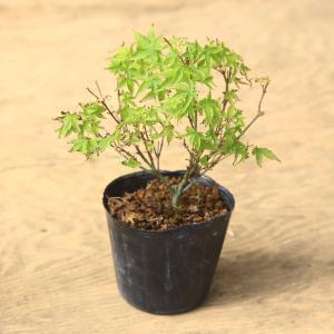 苗:清姫もみじ*|y-bonsai
