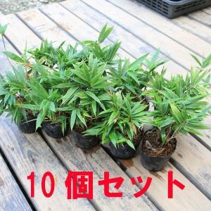 苗:小熊笹 10個セット*(まとめ割)|y-bonsai