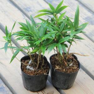 苗:小熊笹 2ケ|y-bonsai