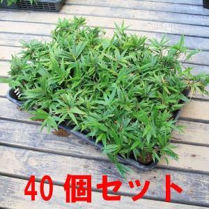 苗:小熊笹 40個セット*(まとめ割)|y-bonsai