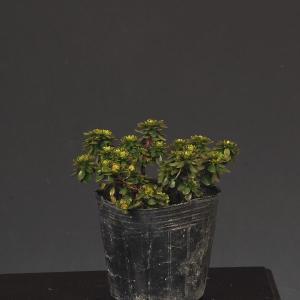 苗:深山霧島つつじ(藤掛)|y-bonsai