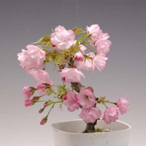植替えサービス付き(苔付です!)の桜の苗:一才桜(旭山桜)* 春 お花見 盆栽 ぼんさい ボンサイ さくら盆栽 2019年春開花終了|y-bonsai