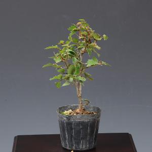 苗:けやき*|y-bonsai