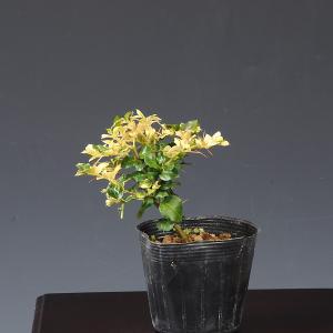 苗:斑入ありどおし y-bonsai