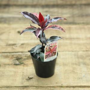苗:万両(紅孔雀)|y-bonsai
