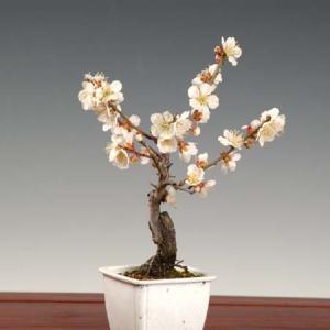 小品盆栽素材 苗:梅(貴山白)|y-bonsai