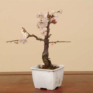 小品盆栽素材 苗:梅(五色梅)|y-bonsai