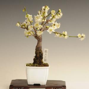 小品盆栽素材 苗:梅(筋入月影)|y-bonsai