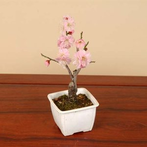 小品盆栽素材 苗:梅(見驚) |y-bonsai