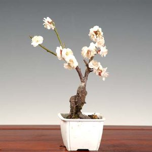 小品盆栽素材 苗:梅(玉牡丹)|y-bonsai