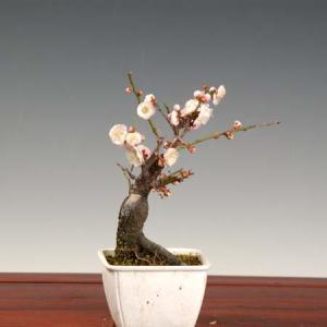 小品盆栽素材 苗:梅(思いのまま)|y-bonsai