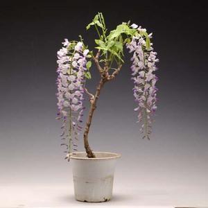 苗:一才藤(大)*葉姿でお届け|y-bonsai