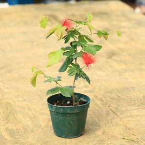 苗:高麗ネム(四季咲きネム)|y-bonsai