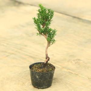 苗:イチイ|y-bonsai