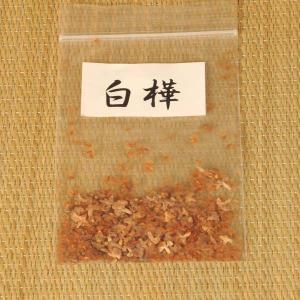 白樺 種子|y-bonsai