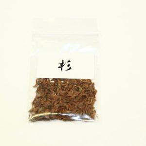 杉 種子|y-bonsai