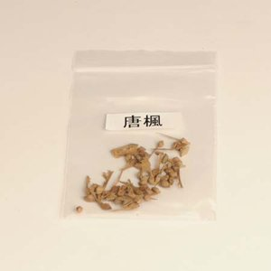 唐楓 種子|y-bonsai
