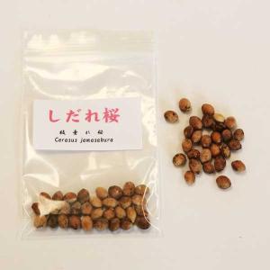しだれ桜 種子|y-bonsai