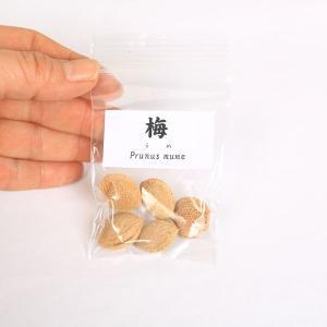 梅 種子|y-bonsai