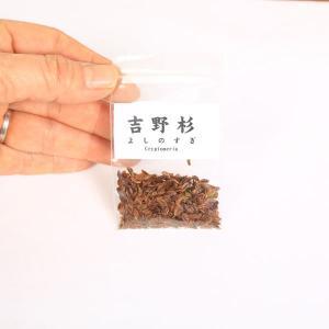 吉野杉 種子|y-bonsai