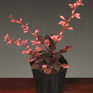 苗:紅めぎ(小)|y-bonsai
