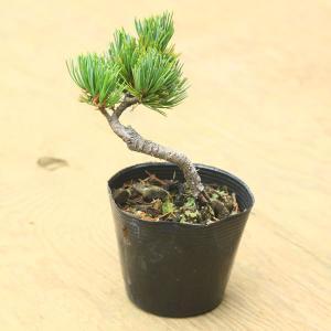 苗:五葉松|y-bonsai