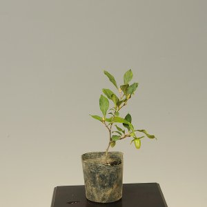 苗:ろうや柿 都紅(みやこべに)|y-bonsai