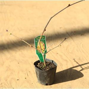 苗:土佐水木|y-bonsai