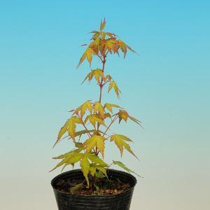 苗:桂モミジ|y-bonsai