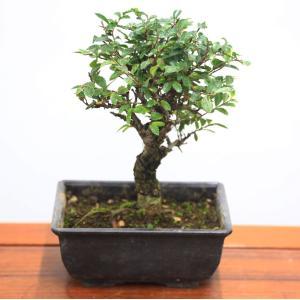 苗:にれけやき(中)*|y-bonsai