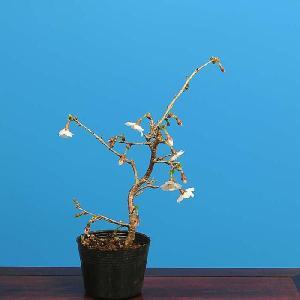 盆栽素材 苗:富士桜(桃源桜)|y-bonsai