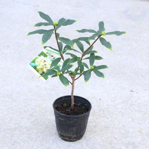苗:沈丁花(白花)|y-bonsai