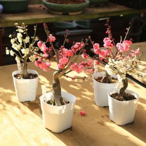 苗:梅(3.5号・4号 角プラポット)|y-bonsai