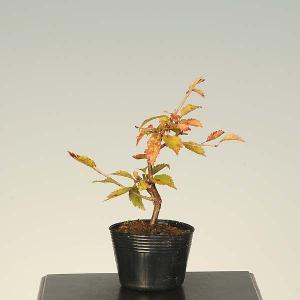 盆栽素材 苗:富士桜(あかね)|y-bonsai