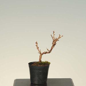 盆栽素材 苗:富士桜(おしどり)|y-bonsai