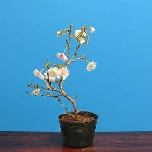 盆栽素材 苗:富士桜(さきがけ)|y-bonsai
