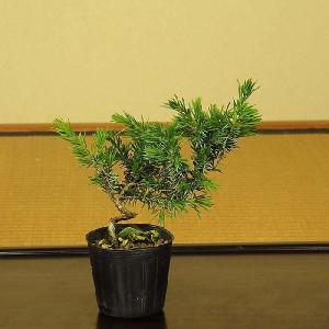 苗:伊勢杜松|y-bonsai