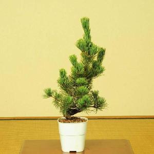 苗:五葉松(大・ごようまつ)*|y-bonsai